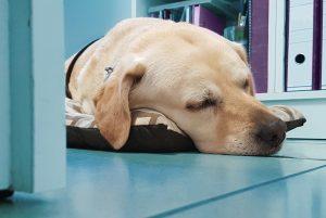 Muriel durmiendo la siesta en la oficina