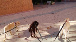 Rumba, Salsa y Muriel andando en Zaragoza. Foto cogida por detrás, no se les ven las caras. Las tres con arneses y correas largas